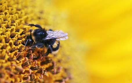 kan ta livet av bier blir brukt i noreg framtida. Black Bedroom Furniture Sets. Home Design Ideas