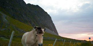Komponisten Sølvberg er sjølv bonde og har driva med fjording, so det er ikkje vanskeleg å høyra kvar han har henta inspirasjonen frå, skriv Fredrik Hope om slåtten «Fjordhingsten».