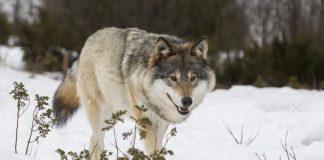 Ulveforvaltninga er i strid med både Grunnlova, naturmangfaldlova og Bernkonvensjonen, meiner WWF.