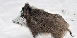 Villsvin byrjar å etablera seg i Noreg. FOTO: Michael Gäbler/Wikimedia Commons