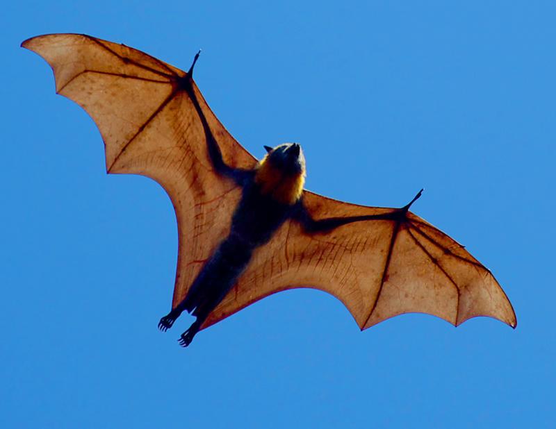 Grey headed flying fox, henta frå Flickr. Foto: Duncan PJ/CC BY-SA 2.0