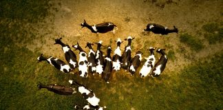 Produksjon av kjøt og mjølk står for 18 prosent av kaloriane, men tek opp 83 prosent av jordbruksarealet. Foto: Filip Bunkens, Unsplash.com