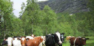 Bondelaget fryktar forslaget om å redusera produksjonen og forbruket av storfekjøt kan få store konsekvensar for landbruket. Foto: Karoline Riise Kristiansen / NPK